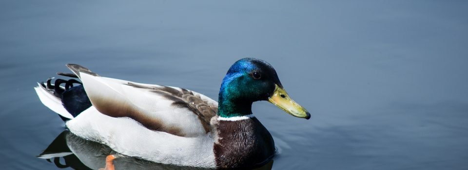 close up photo of mallard duck